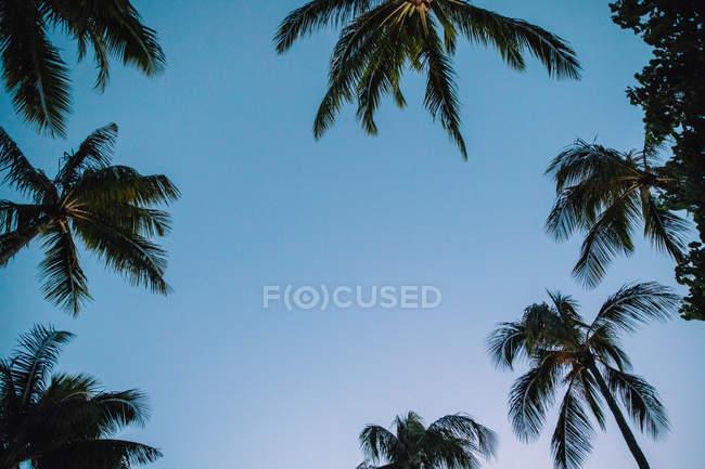 Vista ad angolo basso di palme verdi contro cielo blu — Foto stock