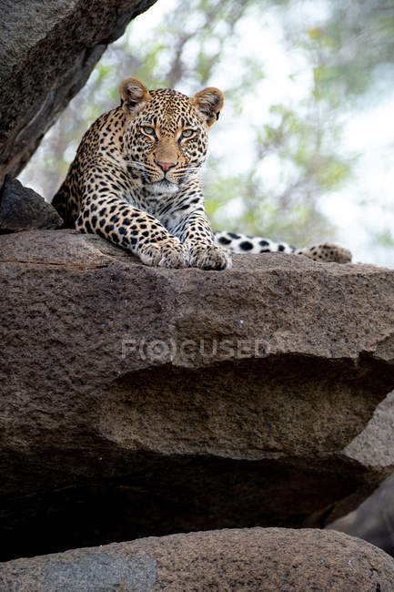 Majestic wild leopard lying on rock and looking at camera — Stock Photo