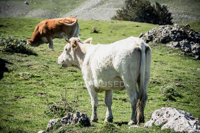 Коровы, пасущиеся на травяном поле с камнями — стоковое фото