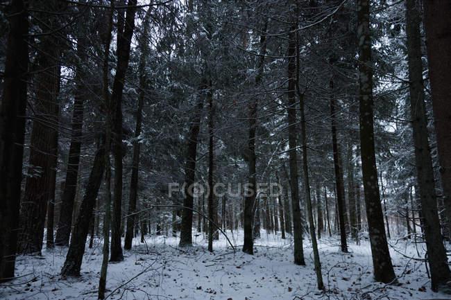 Árvores altas escuras bonitas na floresta cénico do inverno — Fotografia de Stock