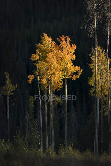 Beautiful autumn forest with beige leafed trees — Stock Photo