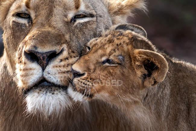 Крупним планом вид величний коричневий дорослий Лев з дитинкою в дикій природі — стокове фото
