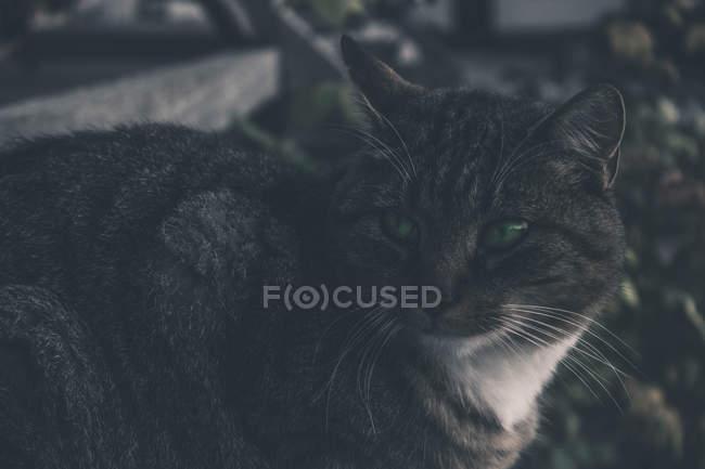 Крупним планом вид Cute пухнастий сірий кіт з зеленими очима на відкритому повітрі в темряві — стокове фото