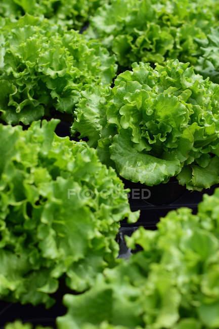 Vista de primer plano de las plantas de lechuga fresca con hojas verdes - foto de stock