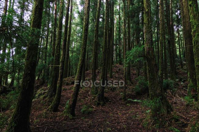 Splendida vista naturale con pini verdi nella bellissima foresta — Foto stock