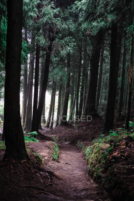 Amazing natural view with green pine trees in beautiful forest — Stock Photo
