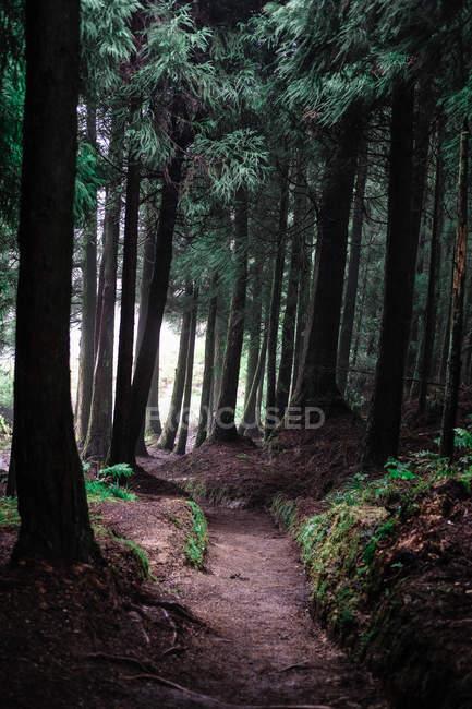 Удивительный естественный вид с зелеными соснами в красивом лесу — стоковое фото