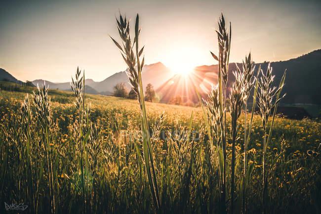 Bellissimo campo di riso verde durante l'alba panoramica — Foto stock