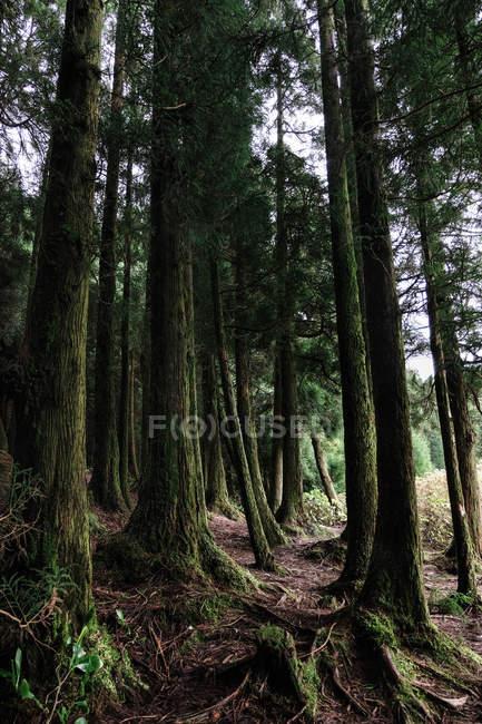 Низкий угол зрения красивых зеленых стволов деревьев в лесу — стоковое фото