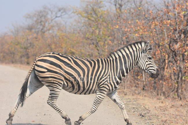 Opinião lateral a zebra preto e branco que anda através da estrada — Fotografia de Stock