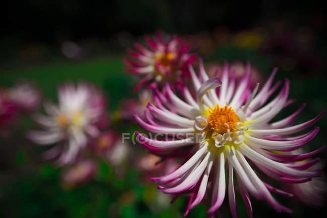 Vista de primer plano de hermosas flores de loto rosa y blanco en flor - foto de stock
