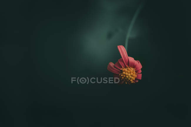 Close view of beautiful pink daisy flower on blurred green natural background - foto de stock