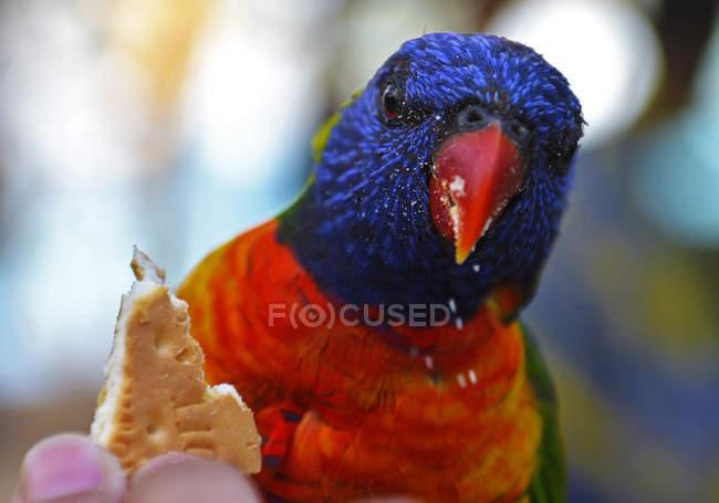 Vista de cerca de lindo pájaro colorido comiendo galleta y mirando a la cámara - foto de stock