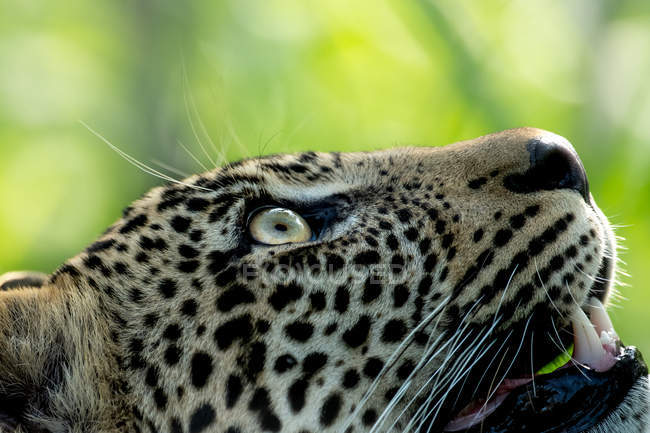 Close-up view of majestic spotted wild leopard looking up — Stock Photo