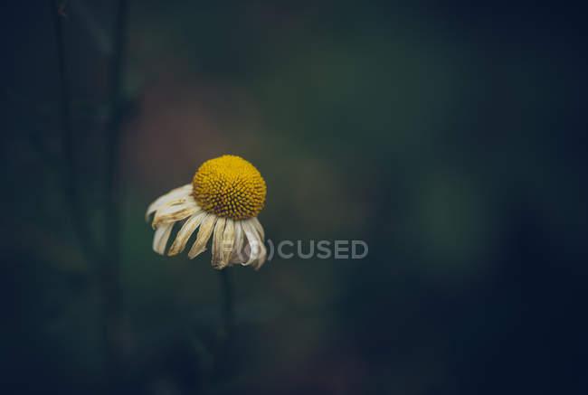 Fotografía de cerca de la flor de pétalos blancos que crecen sobre fondo natural borroso - foto de stock