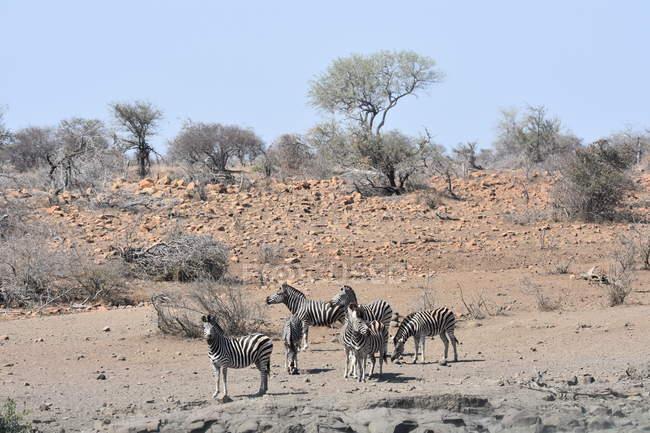 Vista de ángulo alto de hermosas cinco cebras al aire libre durante el día - foto de stock