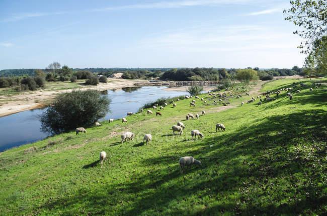 Стадо белых овец, пасущихся на зеленом лугу возле реки — стоковое фото