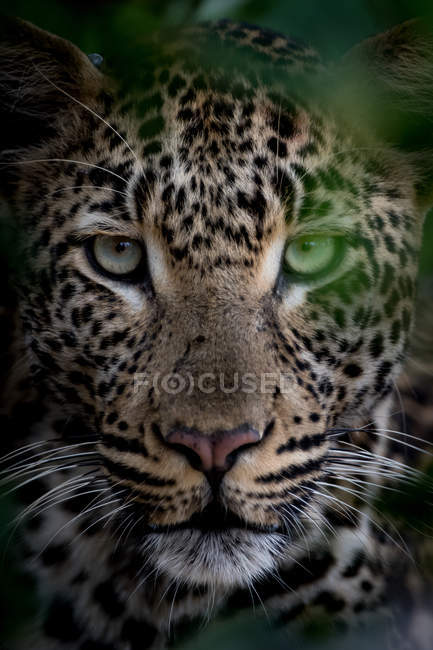 Close-up view of majestic jaguar behind leaves looking at camera — Stock Photo