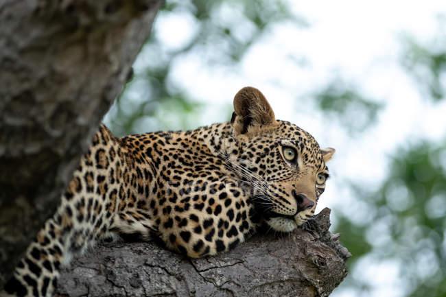 Vista de ángulo bajo de majestuoso leopardo salvaje que yacía en el árbol - foto de stock