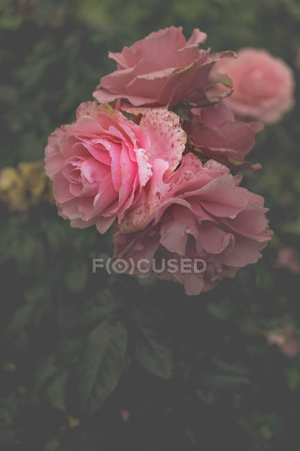 Close-up view of beautiful blooming pink petaled flowers with green leaves — Stock Photo