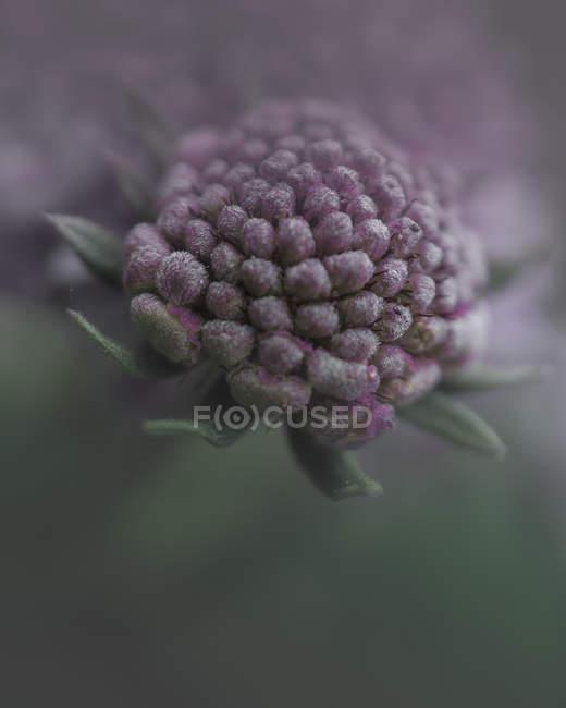 Hermosa púrpura y gris flor fotografía de primer plano, enfoque selectivo - foto de stock