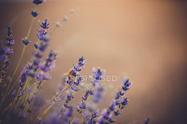 Close-up view of beautiful blooming purple-petaled flowers, selective focus — Stock Photo