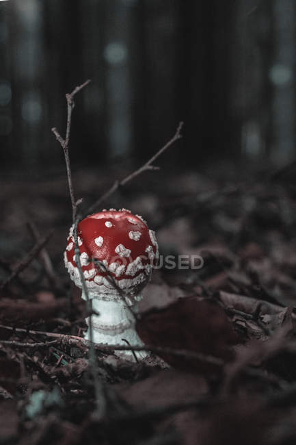 Vista in primo piano del fungo rosso che cresce nella foresta — Foto stock