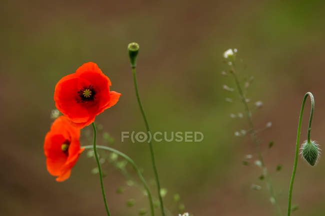 Close-up view of beautiful red petaled poppy flowers — Stock Photo