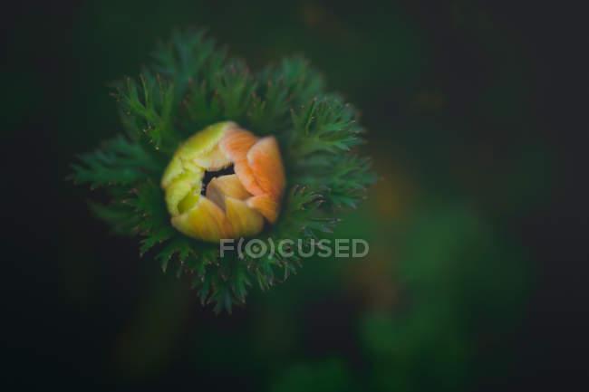 Вибірковий фокус фотографія прекрасної помаранчевий квітка Брунька з зеленим листям, вид зверху — стокове фото