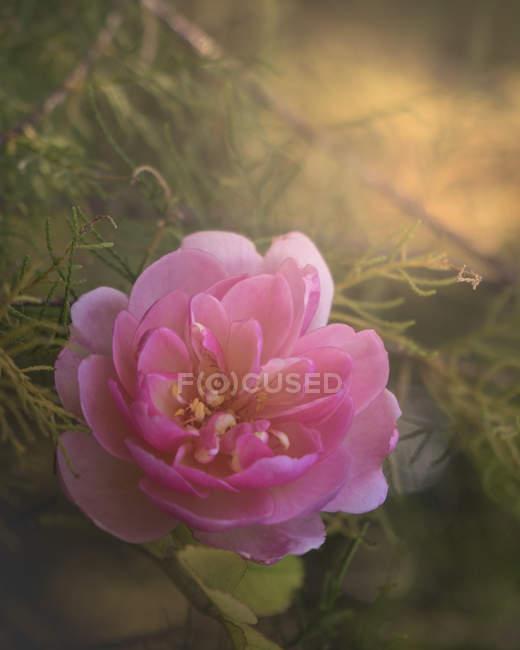 Selektive Fokus Foto von schönen blühenden rosa Blume, Nahaufnahme Ansicht — Stockfoto