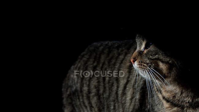 Крупним планом вид милий пухнастий сірий Таббах кішка дивиться на чорний — стокове фото