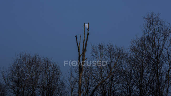 Low angle view of dark bare trees and blue sky with moon at night — Stock Photo