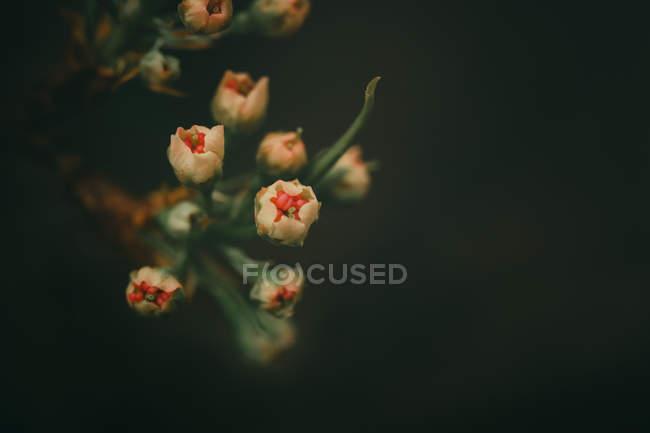 Vista de cerca de hermosas flores blancas y rojas pétalos sobre fondo oscuro, enfoque selectivo - foto de stock