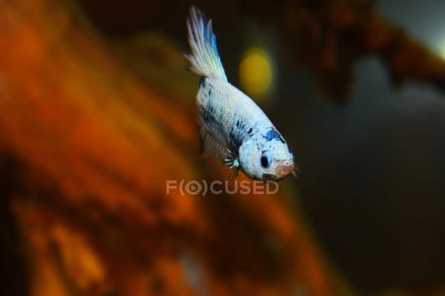 Vista de cerca de hermosos peces azules y blancos nadando en el agua - foto de stock