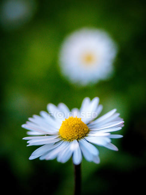 Close-up view of beautiful white petaled flowers, selective focus — Stock Photo