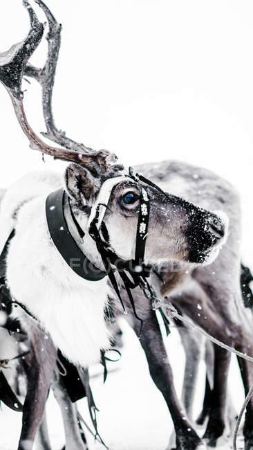 Белый лось снега глядя на камеру в зимний день — стоковое фото