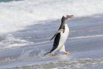 Gentoo Penguin (Pygoscelis papua), Falkland Islands.  South America, Falkland Islands, January — Stock Photo