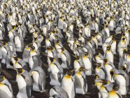King Penguins (Aptenodytes patagonicus) on the Falkland Islands in the South Atlantic. South America, Falkland Islands, January — Stock Photo
