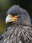 Falkland Caracara or Johnny Rook (Phalcoboenus australis), protected and highly intelligent bird of prey. South America, Falkland Islands, Carcass Island — Stock Photo