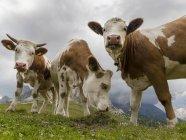 Vaches en pâturage alpin. Dolomites au Passo Giau. Europe, Europe centrale, Italie — Photo de stock