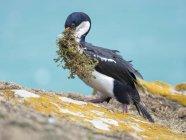 Gathering of nesting material. Imperial Shag also called King Shag, blue-eyed Shag, blue-eyed Cormorant (Phalacrocorax atriceps or Leucarbo atriceps).    South America, Falkland Islands, January — Stock Photo