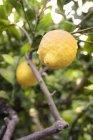 Crepes siciliano limão na madeira, Sicília, Italy, Europa — Fotografia de Stock