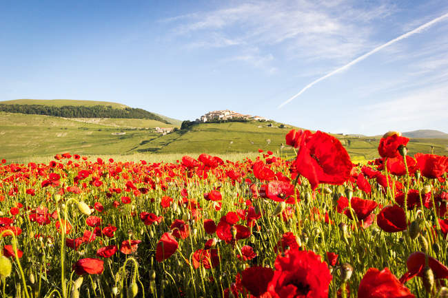 Paisaje lleno de flores con Monte Vettore en el fondo, Valle de Piana Grande, Castelluccio di Norcia, Umbría, Italia - foto de stock
