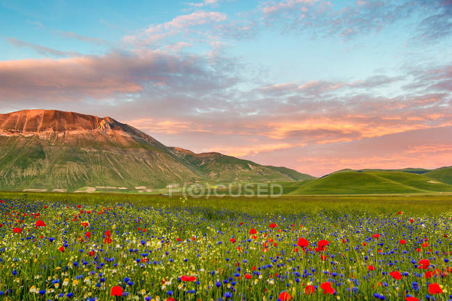 Landscape full of flowers with Monte Vettore in background, Piana Grande Valley, Castelluccio di Norcia, Umbria, Italy — Stock Photo