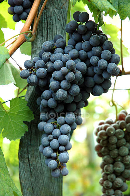 Close up of growing black Grapes — Stock Photo