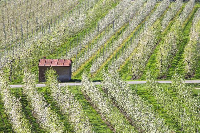 Blühende apfelplantagen villa von tirano, lombardei, valtellina, italien, europa — Stockfoto