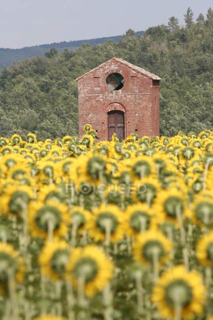 Подсолнечник, Кьюсдино, Тоскана, Италия — стоковое фото
