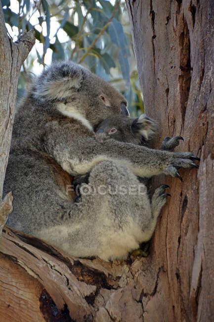 Kangaroo Island, Pharcolarctos cinereus, Koala, Australien, Southern Territories — Stockfoto