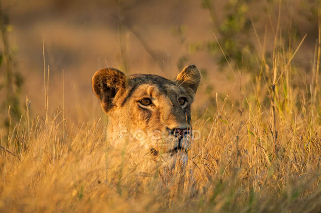 Lioness in tall grass of the savanna in the Kruger National Park, South Africa — Stock Photo