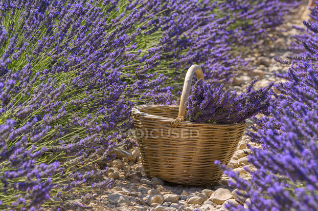 Lavender field, Valensole, Alpes-de-Haute-Provence, France, Europe — Stock Photo
